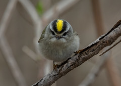Golden-Crowned-Kinglet_MFD3878-FLNS (M F Davis) Tags: kinglet madison wisconsin bird small golden crowned yellow goldencrowned