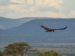 Lappet-faced vulture flying in Masai Mara (Animal People Forum) Tags: flight bird birds vulture vultures savanna masaimara maasaimara kenya africa birdofprey raptor scavenger