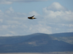 Grey rumped swallow in flight, Masai Mara (Animal People Forum) Tags: swallow bird flying flight birds sky clouds masaimara maasaimara kenya africa