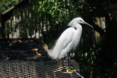 Snowy Egret (arielfischer) Tags: snowyegret egrettathula schmuckreiher garcetanívea aigretteneigeuse garzettanivea garcinhabranca garçabrancapequena белаяамериканскаяцапля