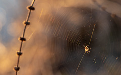 Waiting For Dinner - Hyland Lake Park Reserve (j-rye) Tags: sonyalpha sonya7rm2 ilce7rm2 mirrorless spider insect web bokeh sunset backlit backlight arachnid arthropods