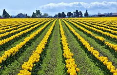 Yellow Rows (sea turtle) Tags: skagitvalley skagit skagitcounty tulip tulips tulipfield tulipfields flower flowers skagitvalleytulipfestival yellow row rows northwest pacificnorthwest washington washingtonstate laconner mountvernon