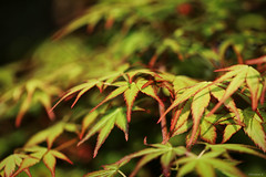 spring time maple leaves (Christine_S.) Tags: spring tree canon eos japan mirrorless ef100mm nature green morning もみじ 春