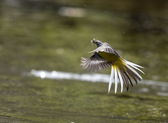 Catch of the day (JohnB's photos) Tags: grey wagtail brecon beacons flight insects wildfowl wildlife wales nikon d500 600mm f4 fl ed