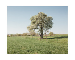 Springtime Tree (Thomas Listl) Tags: thomaslistl color nature tree field countryside 35mm green grass spring lonely mood sky blue 4x5 fence canon