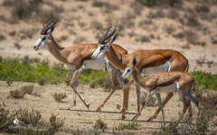Springbock (petraherdlitschke) Tags: africa südafrika kgalagadi animals antilope wildlife outofafrica outdoors naturephotography africanwildlife gamedrive