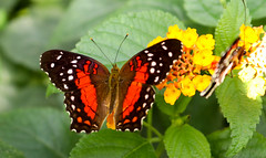 Vacances_0886 (Joanbrebo) Tags: mainau konstanz badenwürttemberg de deutschland canoneos80d eosd autofocus mariposa butterfly papallona papillon farfalle contactgroups