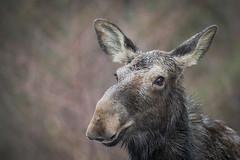Moose | Alces alces (Paul B Jones) Tags: moose alcesalces algonquin ontario canada algonquinprovincialpark animal nature wildlife canoneos1dxmarkii ef600mmf4lisiiiusm 14xiii