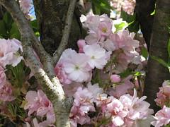 Zierkirschbaum (✿ Esfira ✿) Tags: zierkirschbaum cherryblossoms blumen flowers frühling spring stockerau österreich austria niederösterreich loweraustria