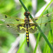 Calico pennant (Celithemis elisa) - first of the year