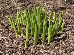 Lombard, IL, Lilacia Park, Emerging Hosta Plant (Mary Warren 13.6+ Million Views) Tags: lombardil lilaciapark nature spring flora plants leaves foliage green hosta garden park
