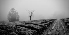 Tea plantation (halifaxlight) Tags: portugal azores saomiguel gorreana tea plantation chagorreana agriculture bushes trees rain mist path bw