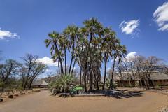 Lala-palms (Hyphaene petersiana) (Sheldrickfalls) Tags: ilala lalapalms hyphaenepetersiana shingwedzi shingwidzi shingwedzicamp krugernationalpark kruger krugerpark limpopo southafrica