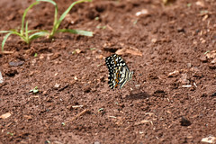 Papillon (Tho41170) Tags: cambodge cambodia asia asie faune wildlife papillon butterfly insecte