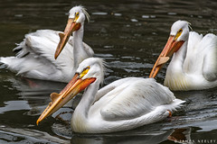 All Eyes Forward (James Neeley) Tags: idaho idahofallszoo wildlife pelicans jamesneeley