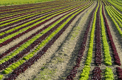 The Geometry of Agriculture (Ernst_P.) Tags: aut inzing österreich tirol pflanze landwirtschaft acker salat agriculture geometry geometrie linie line sigma macro 105mm f28 salad ensalada agricultura