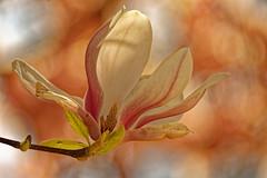 L'impudique - The shameless (p.franche malade - Sick) Tags: blume 花 blomst flor פרח virág bunga bláth blóm bloem kwiat цветок kvetina blomma květina ดอกไม้ hoa زهرة fleur flower macro nature bokeh sony sonyalpha65 dxo photolab2 bruxelles brussel brussels belgium belgique belgïe europe pfranche pascalfranche schaerbeek schaarbeek jardin feuille couleur rose pétales étamines pistil coeur printemps magnolia hdr garden leaf color pink petals stamens heart spring tree baum 樹 trae árbol δέντρο fa albero ツリー treet drzewo дерево ต้นไม้