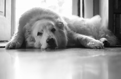 Dog Days (aaron_gould) Tags: home nikkor white art light dog bw new blackandwhite monochrome d7000 prime 35mm bokeh happy pyrenees old