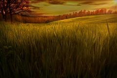 Caressed by the sun - Carezzato dal sole (Stefano Avolio) Tags: wheat wheatfield grano campodigrano toscana tuscany hill sole sun sunset tramonto savolio stefanoavolio caress carezzare