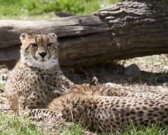 Cheetah (Vaughn2045) Tags: cheetah bigcat mammal animal nebraska omaha zoo sony sonyalpha