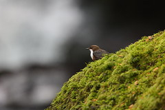 Dipper on Moss (Robin M Morrison) Tags: dipper riverlyn moss rock water waterfall