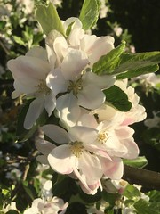 apple blossom Apfelblüte (roli_b) Tags: apple blossom apfel blüte apfelblüte pomme frucht tree baum nature flower flor blume switzerland schweiz suisse suiza svizzera primavera frühling