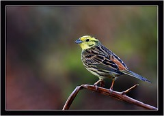 YELLOWHAMMER { f } (PHOTOGRAPHY STARTS WITH P.H.) Tags: yellowhammer hen haytor vale devon nikon d500 m 200500mm afs vr