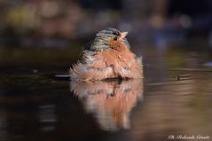 Fringuello _010 (Rolando CRINITI) Tags: fringuello uccelli uccello birds ornitologia avifauna castellettomerli natura