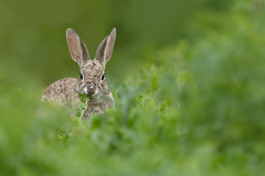 Rabbit (just4memike) Tags: animal blurredbackground brush colorful eye grass hare nature rabbit small stare wildlife