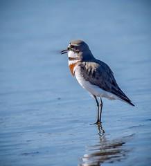 Banded Dotterel (njohn209) Tags: birds d500 nikon nz