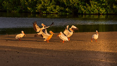 Celebration (Jim Liestman) Tags: dingdarlingnwr white pelicans