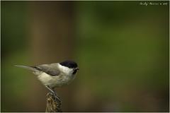 Marsh Tit (Poecile palustris) (andymoore732) Tags: marshtit poecilepalustris gardenbirds ukbirds woodland urbanandsuburban black white grey cream buff brown nikon d500 nikonafs nikkor 300mm f4e pf ed vr swm if andymoore