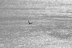solitary flight (EllaH52) Tags: river water sunset afternoon evening silver monochrome blackwhite bird flight nature minimalism simplicity