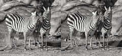 Zebras at the Maryland Zoo in Baltimore. (Bill A) Tags: zebras stereoscopic marylandzoo zooanimals parallelview stereoscopic3d