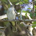 Black-whiskered Vireo, Vireo altiloquus Ascanio_Cub2 199A4572