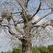 Ceiba tree Ascanio_Cub2 199A3635