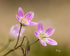 spring beauty (crgillette77) Tags: pennsylvania tiogacounty wildflower carolinaspringbeauty claytoniacaroliniana