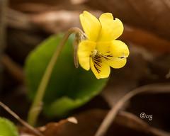 round-leaved yellow violet (crgillette77) Tags: pennsylvania tiogacounty wildflower roundleavedyellowviolet violarotundifolia