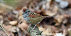 Swamp Sparrow (Arvo Poolar) Tags: outdoors ontario canada arvopoolar scarborough rosettamcclaingardens nature naturallight natural nikond7000 naturephotography swamp sparrow
