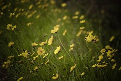 Wildflower (Uniquesnaps) Tags: nature wildflower yellow