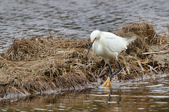 Looking for lunch, Snowy Egret at Clam Harbour Nova Scotia (internat) Tags: 2019 canada novascotia ns clamharbour bird wildlife snowyegret egrettathula eosm5 canon100400mm luminar