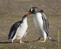 Gentoo Penguins - parent feeding juvenile (karenmelody) Tags: animal animals bird birds bleakerisland falklandislands gentoopenguin pygoscelispapua spheniscidae sphenisciformes vertebrate vertebrates