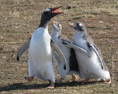 Gentoo Penguins (karenmelody) Tags: animal animals bird birds bleakerisland falklandislands gentoopenguin pygoscelispapua spheniscidae sphenisciformes vertebrate vertebrates
