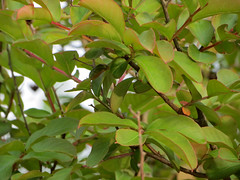 Crape Myrtle Leaves. (dccradio) Tags: lumberton nc northcarolina robesoncounty outdoor outdoors outside nature natural tree trees leaf leaves foliage plant sky april spring springtime thursday thursdayevening evening goodevening canon powershot elph 520hs treebranch branch branches treebranches treelimb crapemyrtle crepemyrtle floweringtree