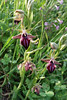 Ophrys sphegodes (Early Spider-Orchid)