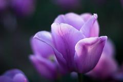 First Rays (fotostevia) Tags: hollandamericabulb tulips woodland woodlandwa flora flowers pentaxart autorikenon5514