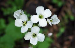 Milkmaids (LeftCoastKenny) Tags: purisimacreekredwoods flower wildflower