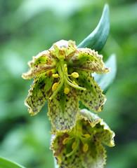 Checkered (LeftCoastKenny) Tags: purisimacreekredwoods flower wildflower