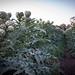 artichokes 4