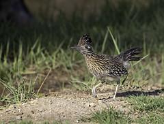Greater Roadrunner Up Close (raineys) Tags: greaterroadrunner bird wildlife nature inyocounty california specanimal